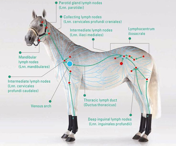Equine Manual Lymph Drainage